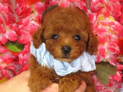 トイプードルの子犬(ID:1249511835)の2枚目の写真/更新日:2017-07-17