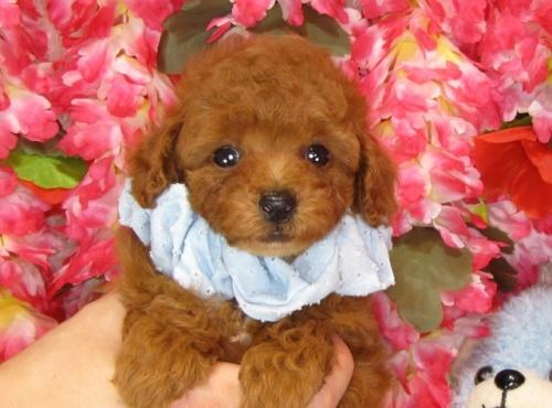 トイプードルの子犬(ID:1249511835)の3枚目の写真/更新日:2017-07-17