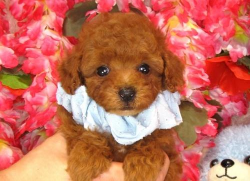 トイプードルの子犬(ID:1249511835)の4枚目の写真/更新日:2017-07-17