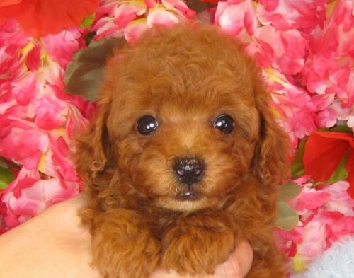 トイプードルの子犬(ID:1249511835)の5枚目の写真/更新日:2017-07-17
