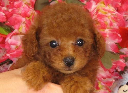 トイプードルの子犬(ID:1249511836)の1枚目の写真/更新日:2017-07-17