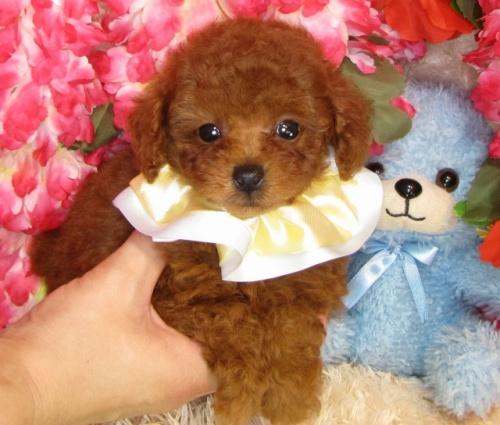 トイプードルの子犬(ID:1249511836)の3枚目の写真/更新日:2017-07-17