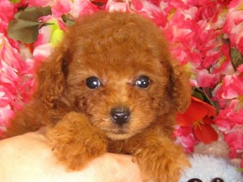 トイプードルの子犬(ID:1249511836)の4枚目の写真/更新日:2017-07-17