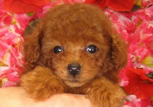 トイプードルの子犬(ID:1249511836)の5枚目の写真/更新日:2017-07-17