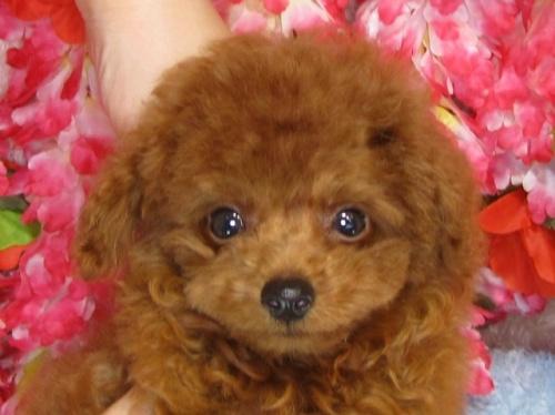 トイプードルの子犬(ID:1249511837)の1枚目の写真/更新日:2017-07-22