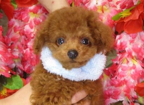 トイプードルの子犬(ID:1249511837)の2枚目の写真/更新日:2017-07-22