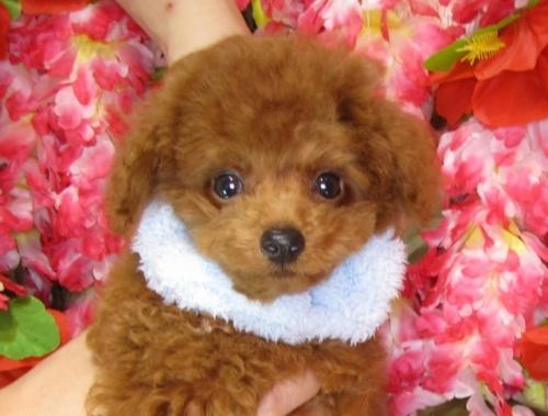 トイプードルの子犬(ID:1249511837)の4枚目の写真/更新日:2017-07-22