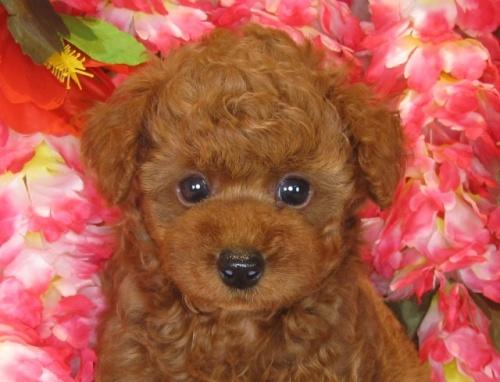 トイプードルの子犬(ID:1249511838)の1枚目の写真/更新日:2017-08-01