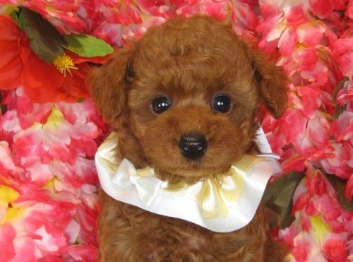 トイプードルの子犬(ID:1249511838)の2枚目の写真/更新日:2017-08-01