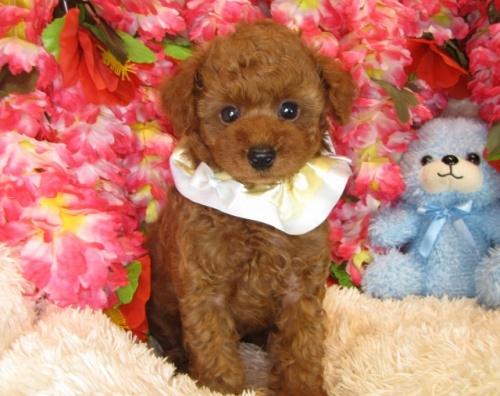 トイプードルの子犬(ID:1249511838)の3枚目の写真/更新日:2017-08-01
