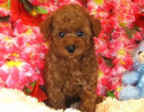 トイプードルの子犬(ID:1249511838)の4枚目の写真/更新日:2017-08-01