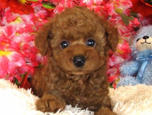 トイプードルの子犬(ID:1249511838)の5枚目の写真/更新日:2017-08-01