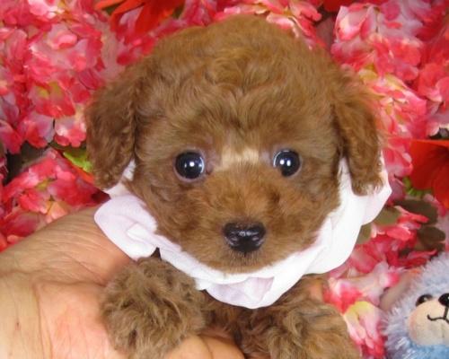 トイプードルの子犬(ID:1249511839)の2枚目の写真/更新日:2017-08-01