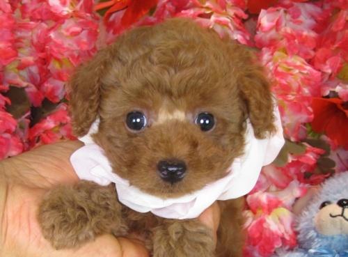 トイプードルの子犬(ID:1249511839)の3枚目の写真/更新日:2017-08-01