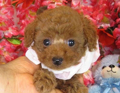 トイプードルの子犬(ID:1249511839)の4枚目の写真/更新日:2017-08-01