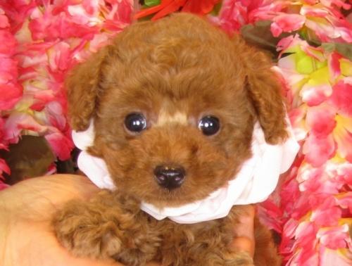 トイプードルの子犬(ID:1249511839)の5枚目の写真/更新日:2017-08-01