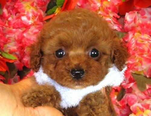 トイプードルの子犬(ID:1249511840)の1枚目の写真/更新日:2017-08-01