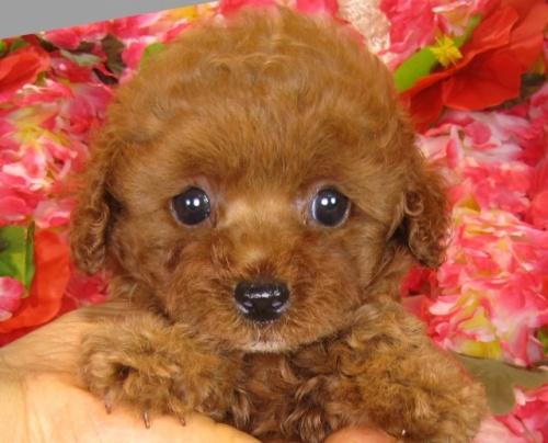 トイプードルの子犬(ID:1249511840)の2枚目の写真/更新日:2017-08-01