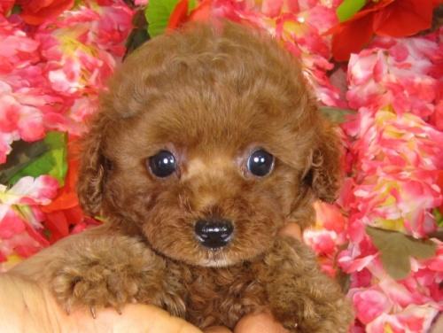 トイプードルの子犬(ID:1249511840)の3枚目の写真/更新日:2017-08-01