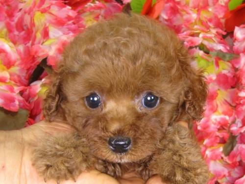 トイプードルの子犬(ID:1249511840)の5枚目の写真/更新日:2017-08-01