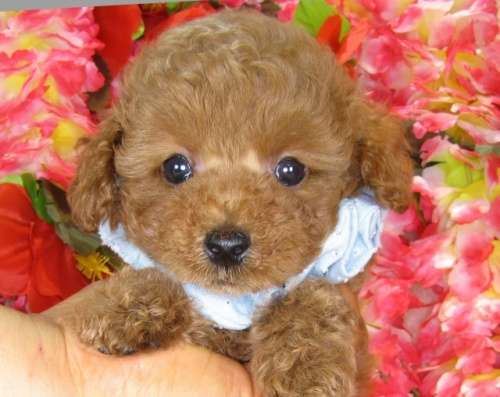 トイプードルの子犬(ID:1249511841)の1枚目の写真/更新日:2017-08-01