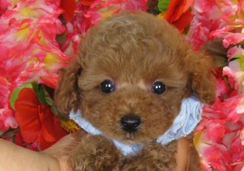 トイプードルの子犬(ID:1249511841)の2枚目の写真/更新日:2017-08-01