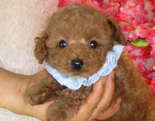 トイプードルの子犬(ID:1249511841)の4枚目の写真/更新日:2017-08-01