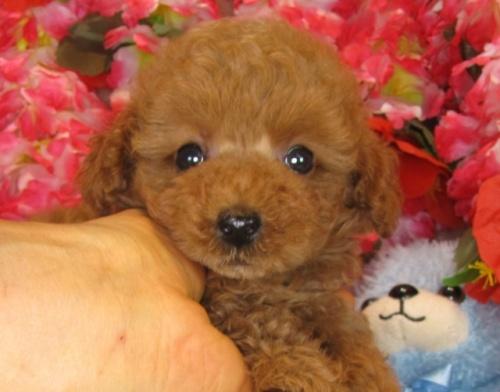 トイプードルの子犬(ID:1249511841)の5枚目の写真/更新日:2017-08-01