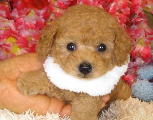 トイプードルの子犬(ID:1249511842)の1枚目の写真/更新日:2017-08-01