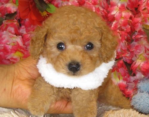 トイプードルの子犬(ID:1249511842)の2枚目の写真/更新日:2017-08-01