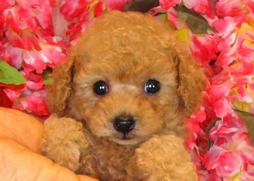 トイプードルの子犬(ID:1249511842)の4枚目の写真/更新日:2017-08-01