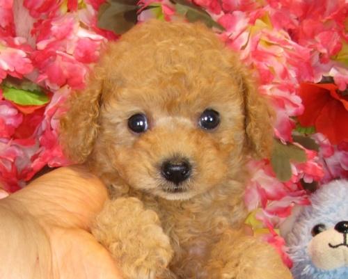トイプードルの子犬(ID:1249511842)の5枚目の写真/更新日:2017-08-01