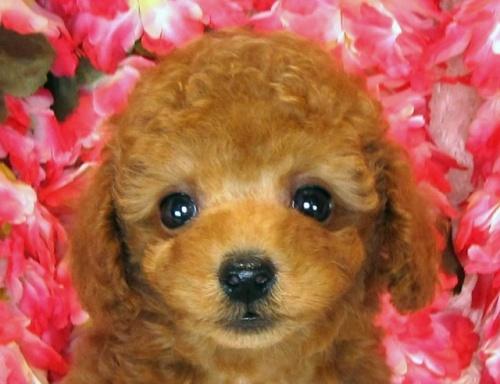 トイプードルの子犬(ID:1249511843)の1枚目の写真/更新日:2017-08-07