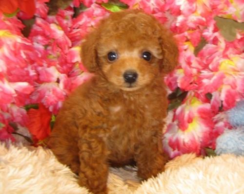 トイプードルの子犬(ID:1249511843)の2枚目の写真/更新日:2017-08-07