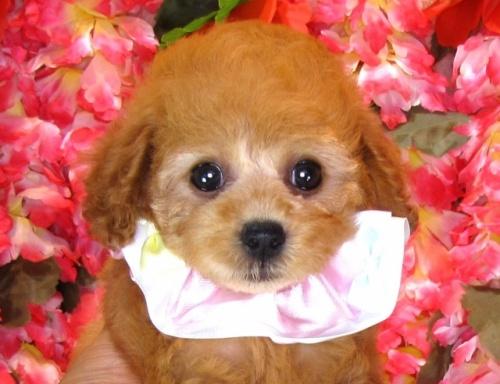 トイプードルの子犬(ID:1249511844)の1枚目の写真/更新日:2017-08-07