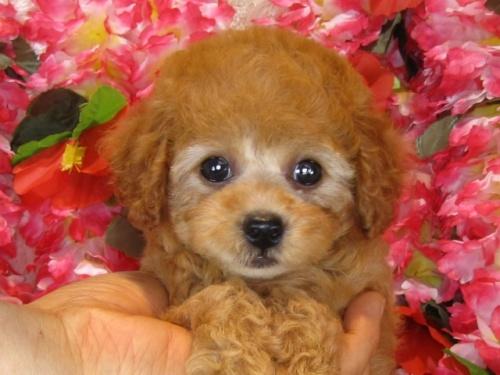トイプードルの子犬(ID:1249511844)の2枚目の写真/更新日:2017-08-07