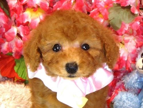 トイプードルの子犬(ID:1249511845)の1枚目の写真/更新日:2017-08-07