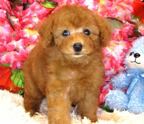 トイプードルの子犬(ID:1249511845)の2枚目の写真/更新日:2017-08-07