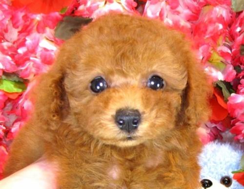 トイプードルの子犬(ID:1249511846)の1枚目の写真/更新日:2017-08-07