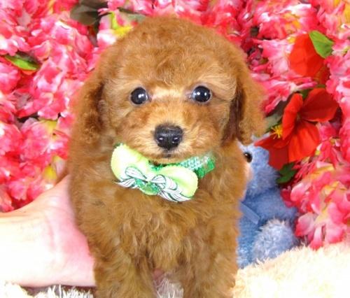 トイプードルの子犬(ID:1249511846)の2枚目の写真/更新日:2017-08-07