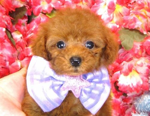 トイプードルの子犬(ID:1249511847)の1枚目の写真/更新日:2017-08-07