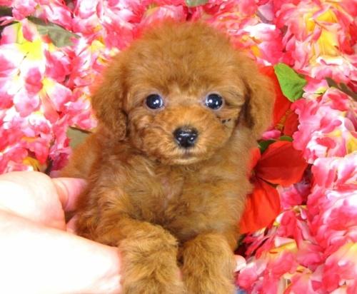 トイプードルの子犬(ID:1249511847)の2枚目の写真/更新日:2017-08-07