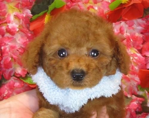 トイプードルの子犬(ID:1249511848)の1枚目の写真/更新日:2017-08-07