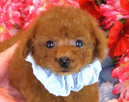 トイプードルの子犬(ID:1249511849)の1枚目の写真/更新日:2017-08-07