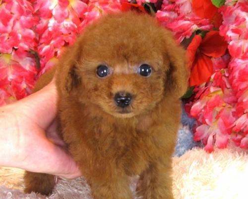 トイプードルの子犬(ID:1249511849)の2枚目の写真/更新日:2017-08-07