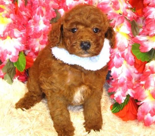 トイプードルの子犬(ID:1249511852)の2枚目の写真/更新日:2017-08-22