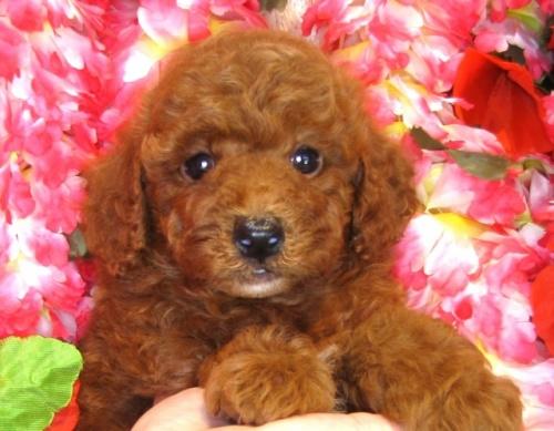 トイプードルの子犬(ID:1249511852)の4枚目の写真/更新日:2017-08-22