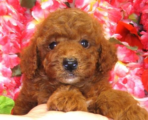 トイプードルの子犬(ID:1249511852)の5枚目の写真/更新日:2017-08-22