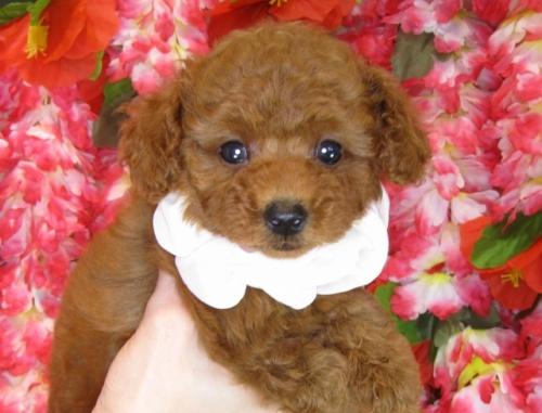 トイプードルの子犬(ID:1249511853)の4枚目の写真/更新日:2017-08-28