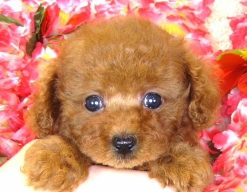 トイプードルの子犬(ID:1249511854)の1枚目の写真/更新日:2017-08-28